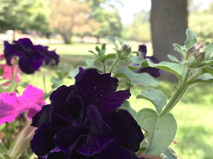 begonia purple (2).JPG