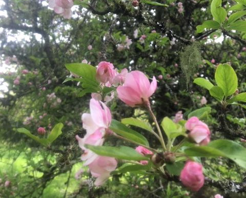 Have You Seen the Apple Blossoms this Spring?