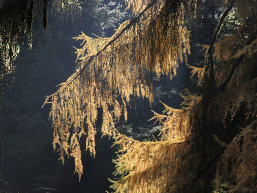 Year of the Larch,2021