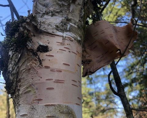 Magic Birch Grove