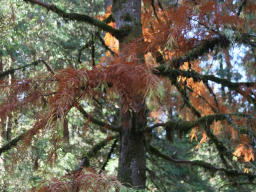 Bald Cypress in a Reading