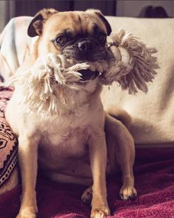 Daisy the Pug | Social Media