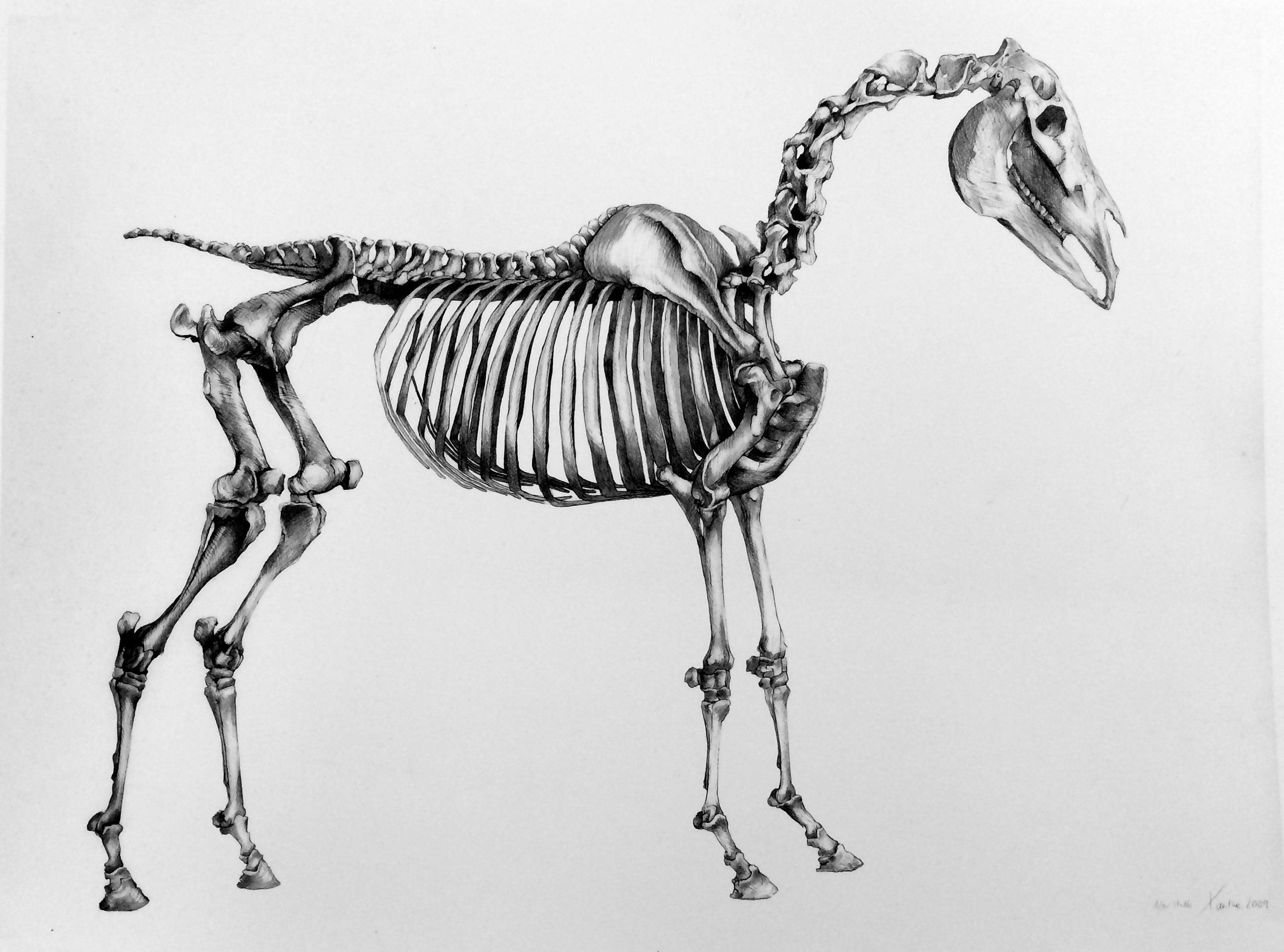 Horse Skeleton after Stubbs
