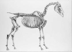 Horse Skeleton from Stubbs