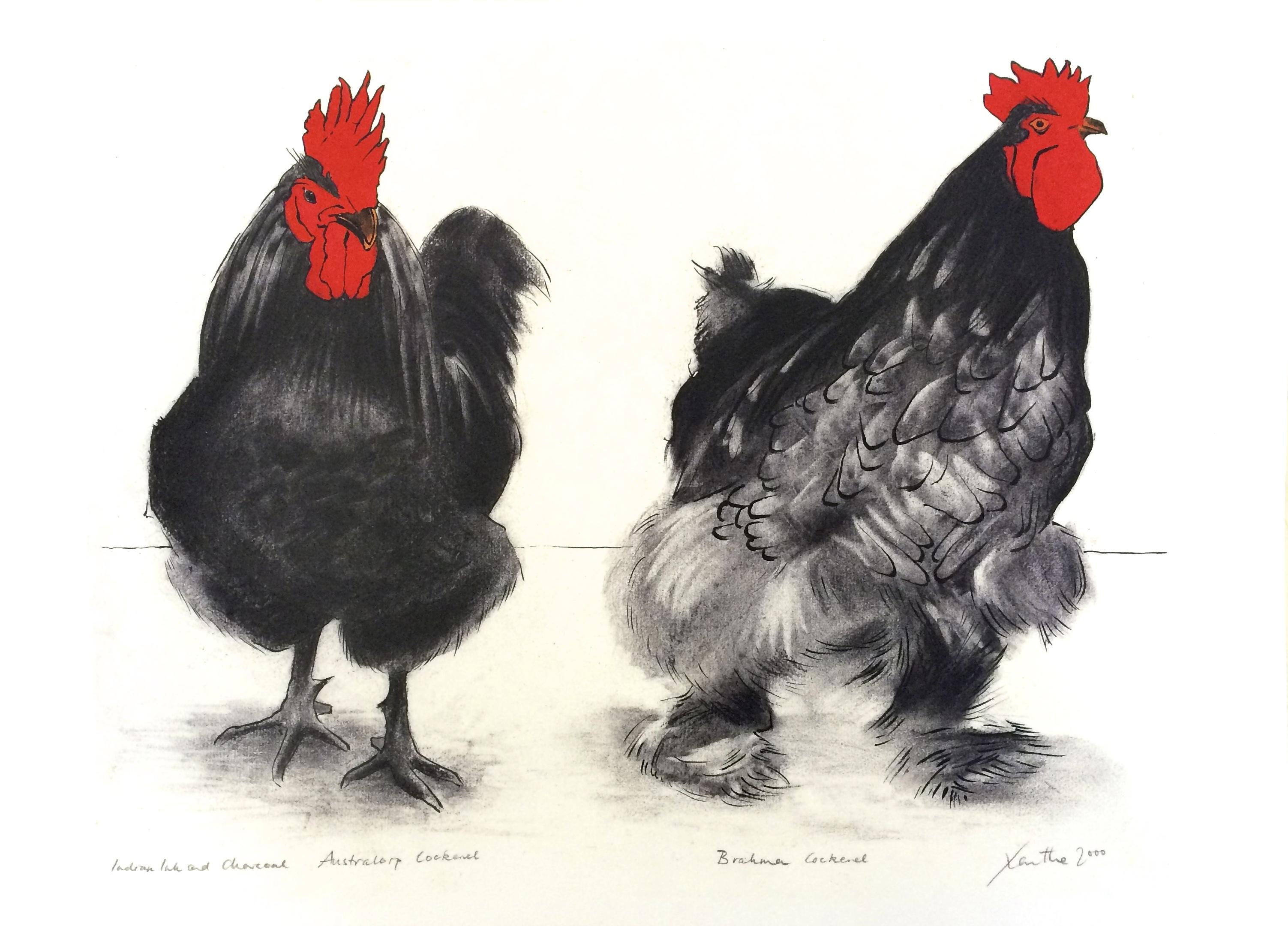 Australorp and Brahma Cockerels