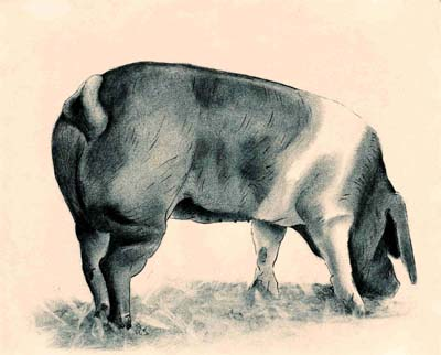 Saddleback Pig