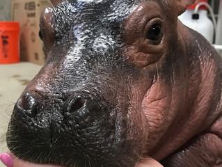 #GoalsGoneWild : How a Hippo Saved 2017