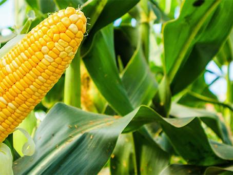 Como otimizar a determinação de óleo na moagem de milho