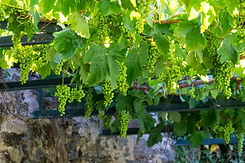 Europe, Portugal, Douro Valley, grapes a