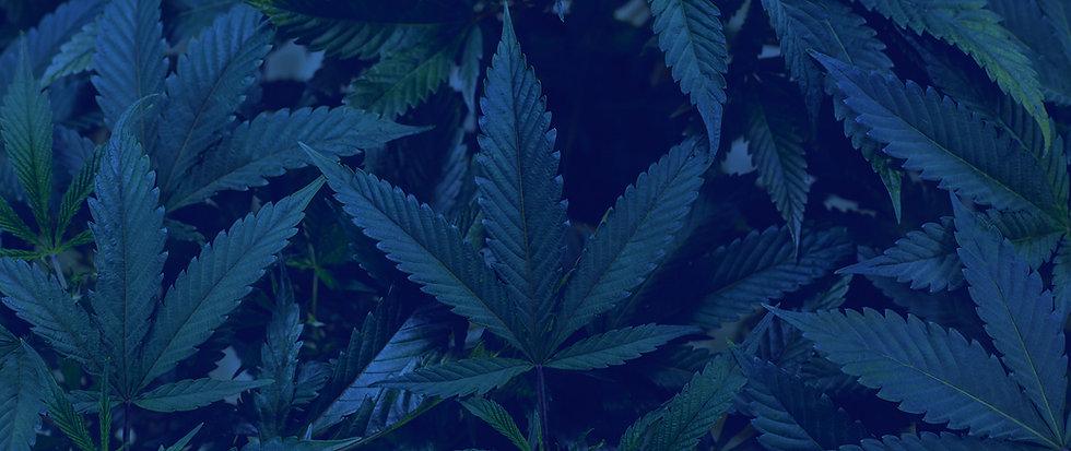 cannabis-3600x1600.jpg