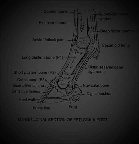 Fetlock and foot diagram (3).png