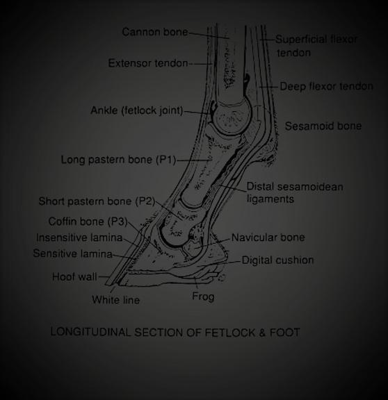 Fetlock and foot diagram (3).png