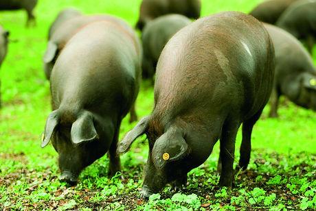 """Porc iberique mangeant des bellotas """"glands"""" dans la dehesa"""