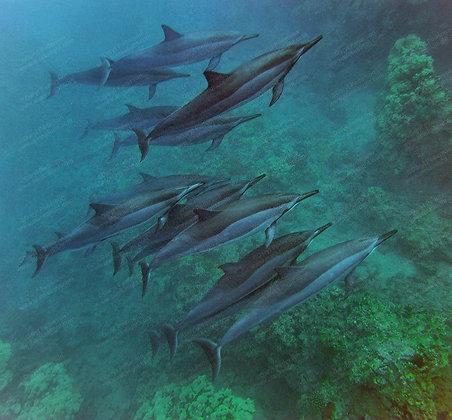 """Coral Dolphins"" MetalPrint"