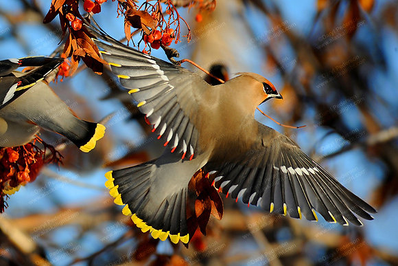 """""""Waxwings"""" Photographic Print"""