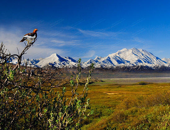 """Ptarmigan with Denali"" MetalPrint"