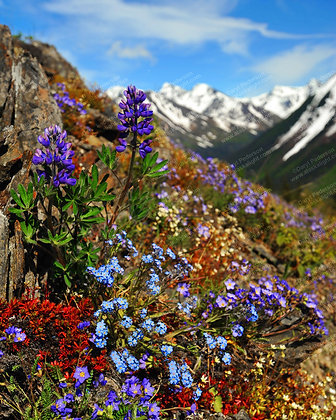 """Alpine Flowers"" MetalPrint"