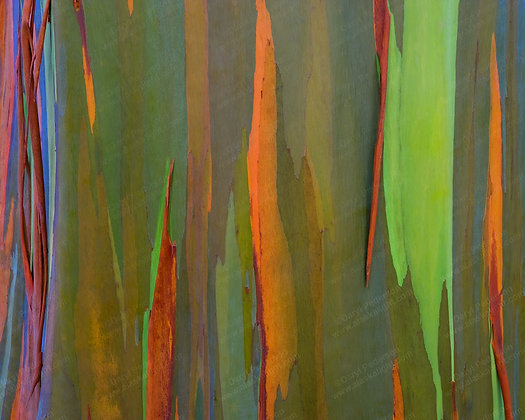 """Rainbow Eucalyptus"" MetalPrint"