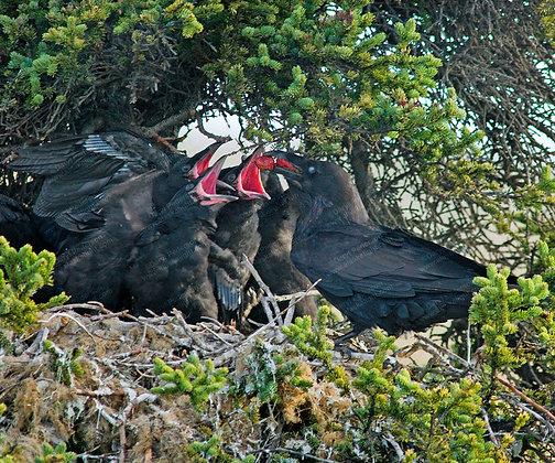 """""""Raven Nest"""" Photographic Print"""