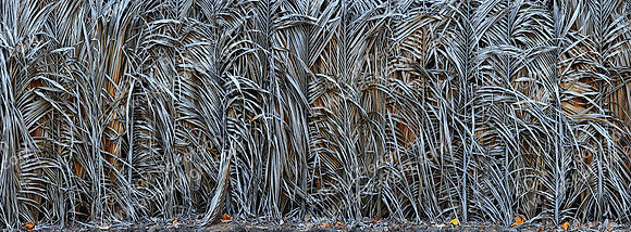 """Palm Fence"" Photographic Print"