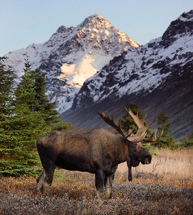 """Bull Moose"" Photographic Print"