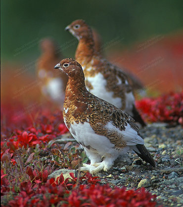"""Fall Ptarmigan"" Photographic Print"