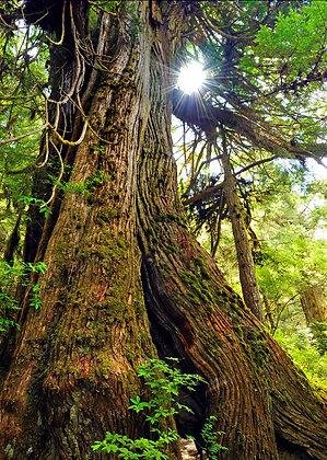 """Cedar"" Photographic Print"
