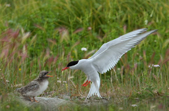 """Terns"" Photographic Print"