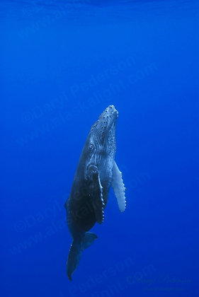 """Baby Whale"" Photographic Print"