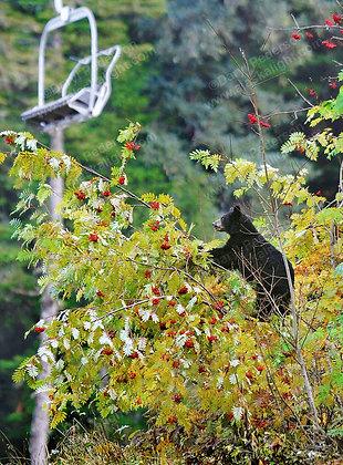 """Alyeska Black Bear"" Photographic Print"