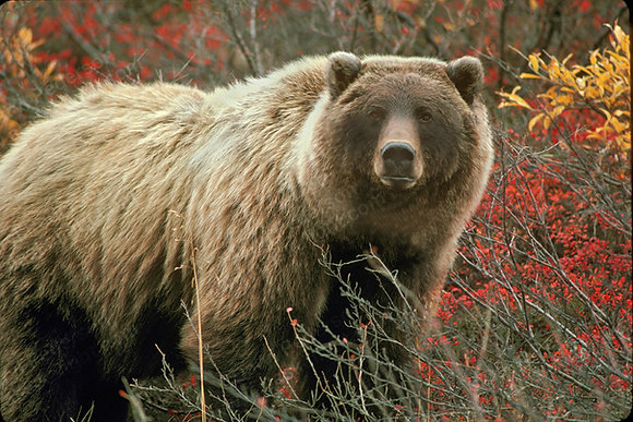 """""""Toklat Grizzly"""" Photographic Print"""