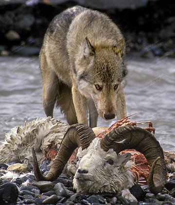 """""""Wolf with Sheep"""" Photographic Print"""