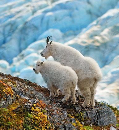 """""""Goat Glacier"""" MetalPrint"""
