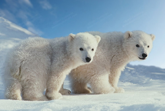 """Polar Bear Cubs"" MetalPrint"