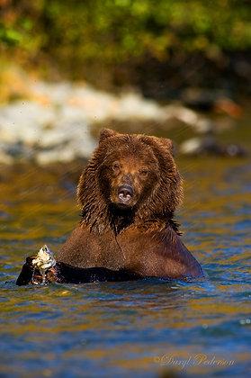 """Kenai River Brown Bear"" MetalPrint"