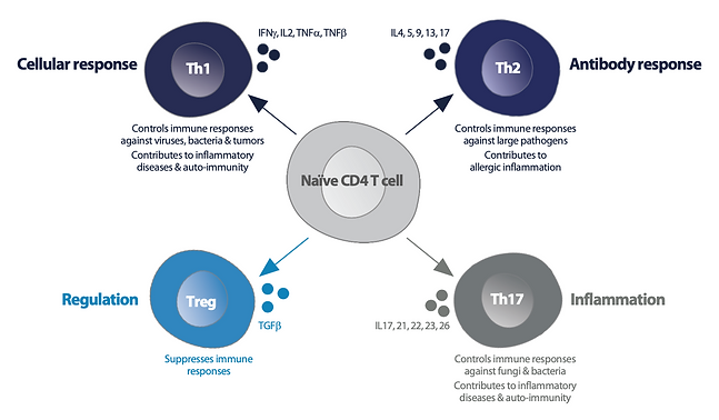 CD4 T cells subsets.png