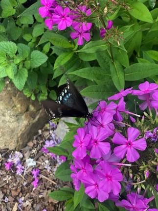Butterfly in Blue Ridge GA.jpg