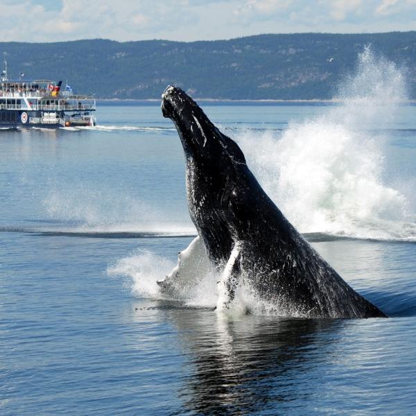copy1-baleines-cote-nord-1jpg