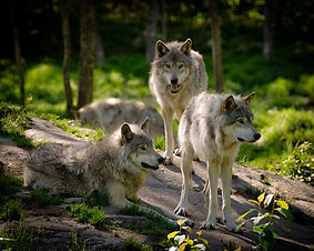 bigstock-Three-Eastern-Timber-Wolves-Pa-