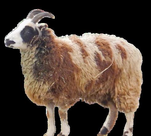 Glenda - The Wever Way - Jacob Sheep