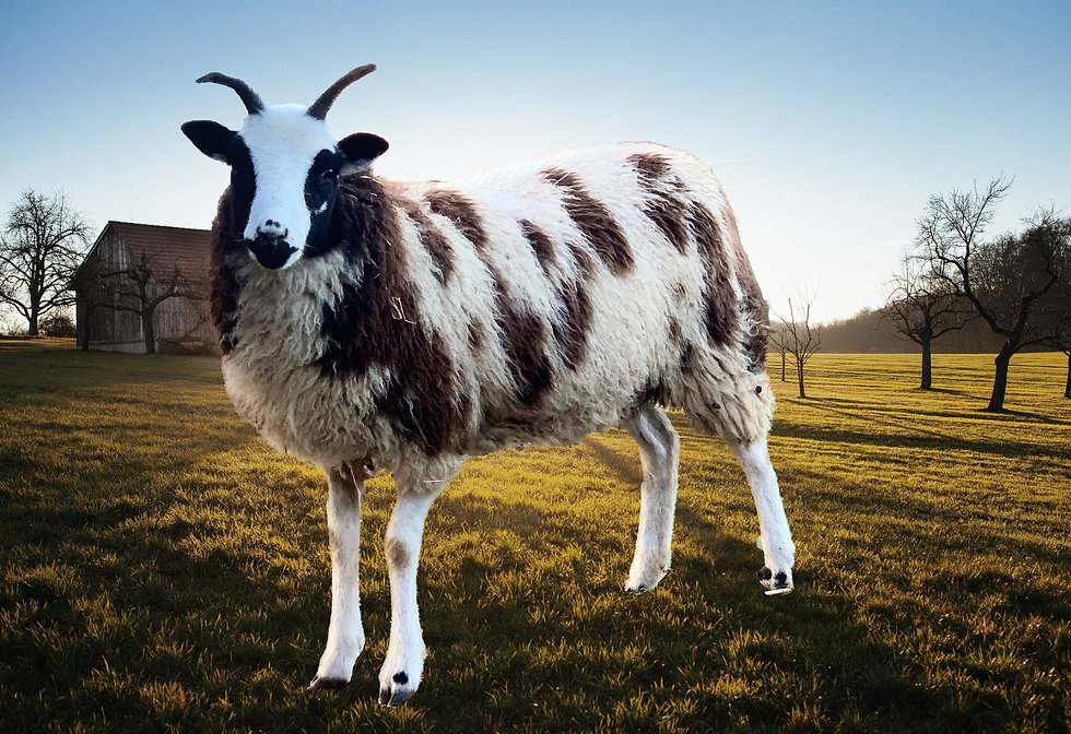 Wisteria - The Wever Way - Jacob Sheep