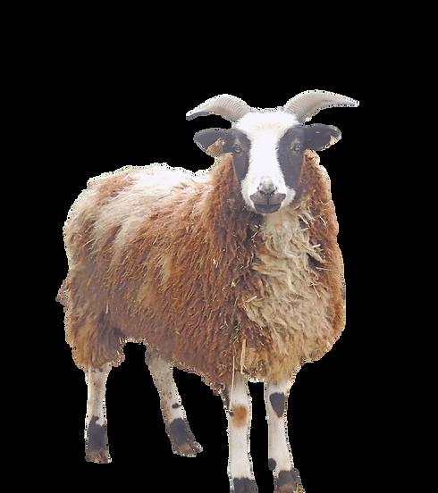 Amelia - The Wever Way - Jacob Sheep