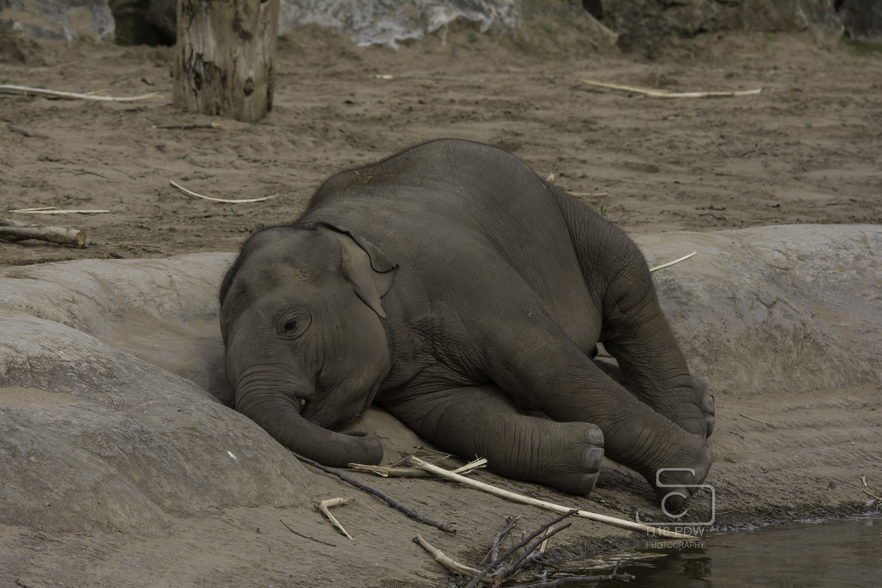Baby Elephant Sleeping