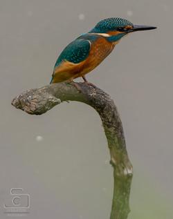 Kingfisher waiting.