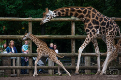 Giraffes Chasing Each Other