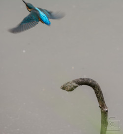 Kingfisher Taking Off