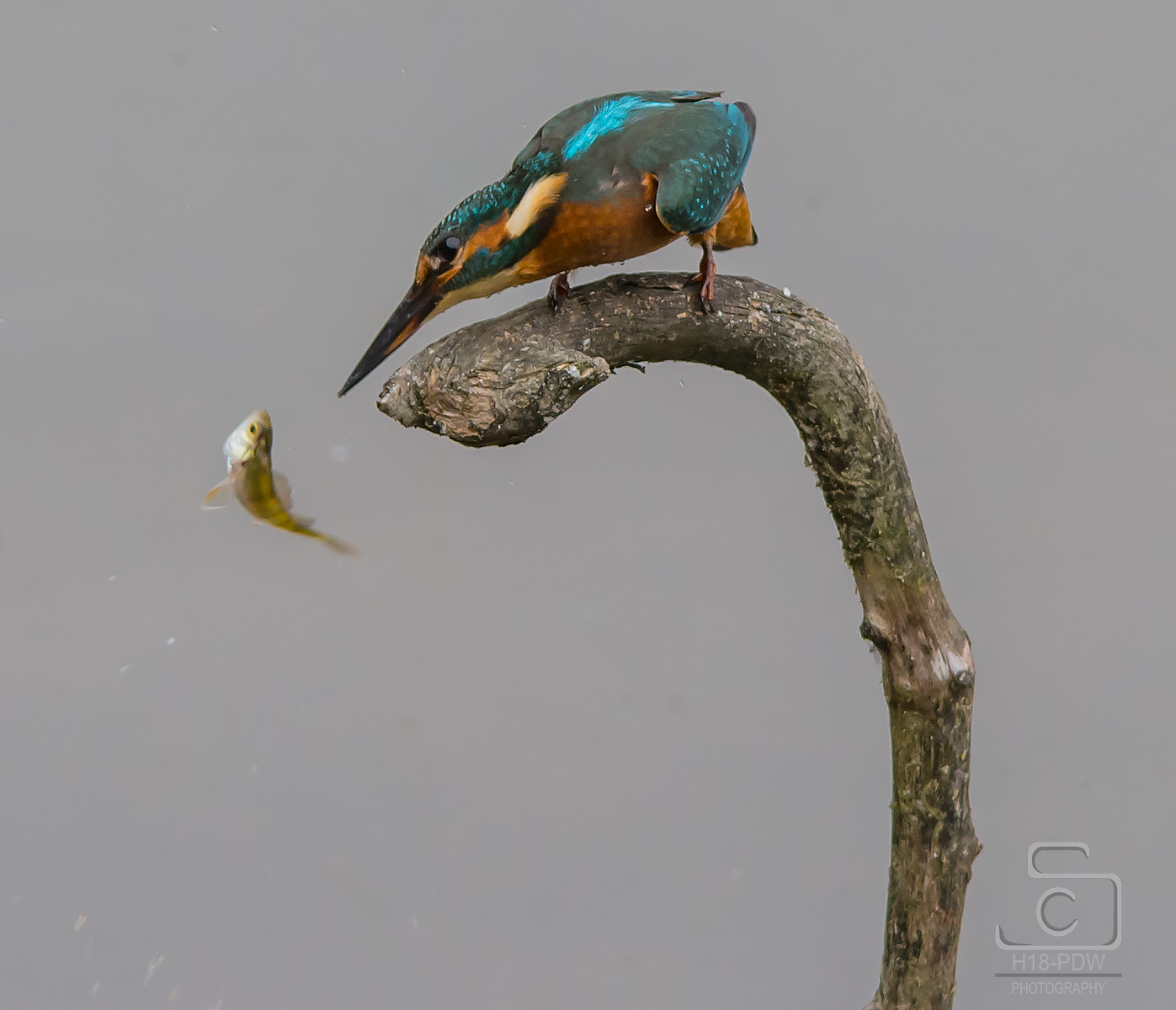 Kingfisher Dropping His Dinner