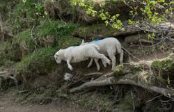 Lambs Jumping