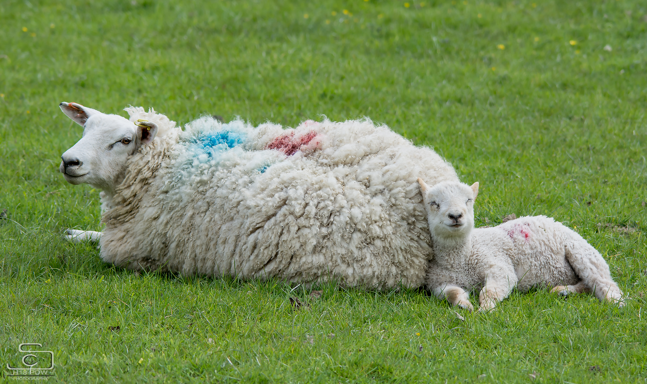 Lamb Sleeping with mum
