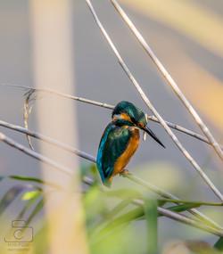 Kingfisher Chilling